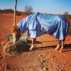 summer horse rugs, summer horse gear, horse gear australia